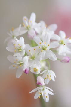 All Flowers, Flowers Nature, Amazing Flowers, White Flowers, Goodbye Messages For Friends, Onion Flower, Macro Flower, Plant Pictures, Blue Roses