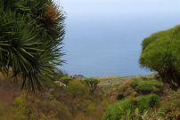 Drachenbaum La Palma