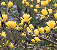 Magnolia butterflies (Butterfly Magnolia) Noted for its non-fading yellow flowers, late vegetative growth, compact pyramidal form and hardiness to both heat and cold. Upright, tulip-like, yellow flowers (bloom in late winter to early spring.