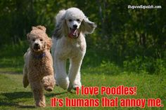 I LOVE POODLES!!! ITS HUMANS THAT ANNOY ME