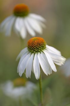 Echinacea - very good for fighting illnesses based on viruses, it is even more powerful when mixed with extract from olive leaves and extract from oregano.
