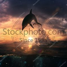 Stock photo of Beautiful dolphin jumping from shining water - Beautiful dolphin jumped from the ocean at the sunset time Dolphins, Ocean, Stock Photos, Sunset, Water, Illustration, Movie Posters, Beautiful, Art