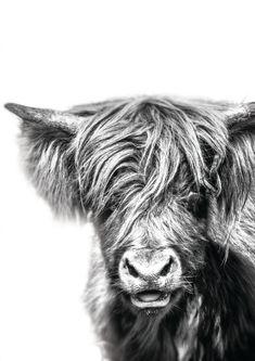 Scottish Highland Cow, Highland Cow Print, Highland Cattle, Types Of Photography, Animal Photography, Funny Animals, Cute Animals, Cute Cows, Nursery Wall Art