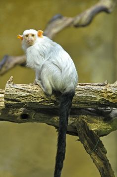 Zilveraapje (Mico argentatus / Callithrix argentata) Zoo Krefeld, Krefeld, Germany Conservation status: Least concern All About Animals, Animals Of The World, Animals And Pets, New World Monkey, Types Of Monkeys, Monkey Wallpaper, Ape Monkey, In The Zoo, Super Cute Animals