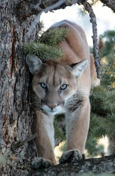 On the Hunt to Shoot a Mountain Lion : A big mountain lion stares down from an evergreen tree. Nature Animals, Animals And Pets, Baby Animals, Cute Animals, Big Cats, Cats And Kittens, Cute Cats, Beautiful Cats, Animals Beautiful