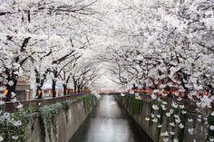 満開の桜の花で覆われるような川縁は歩いているだけで楽しい♪