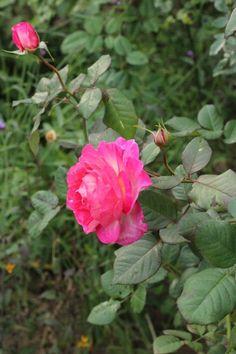 今日は晴天!コピスガーデンのバラたちも、少しずつほころび始めてきています!今日のバラは、「マダム・ドゥ・スタール - Madame de Stael」。マダム・ドゥ・スタールは、ピンクからサーモンピンクへと移ろいゆく花色が魅力。 花弁裏が白いリバーシブルになっています。 葉は濃くマットで、花を引き立てます。花付きが良く、 一枝に5~7輪の房咲きになり、深いグリーンのマットな葉は耐病性に優れています。 一番花は色が強...