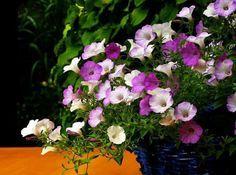 As petúnias são flores lindas e, se você as plantou em casa nós ajudamos com os cuidados! :) #flores #jardim #plantas #petúnias