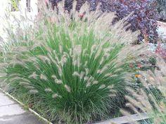 Bestel Pennisetum alopecuroides 'Hameln' voordelig bij Plantenweelde