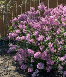 Ever Blooming Lilac- Bloomerang, blooms in May, then again in June through frost.