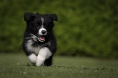 images of strange puppies | border collie puppy. I think Winston needs a little sister :) :) :)