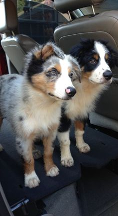 Everything About The Smart Aussie Pups Grooming – Australian Shepherd-Puppy Australian Shepherd Puppies, Aussie Puppies, Cute Dogs And Puppies, I Love Dogs, Australian Shepherds, Doggies, Corgi Puppies, Beautiful Dogs, Animals Beautiful