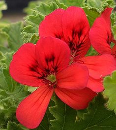 Mrs. Taylor Scented Geranium Flowers; Mrs. Taylor is scented of musky woods and makes a striking border or informal edging plant.