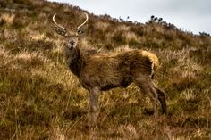 Red Deer in camouflage, Highlands, Scotland - Red deer (Cervus elaphus), Lochinver, Highlands, Scotland