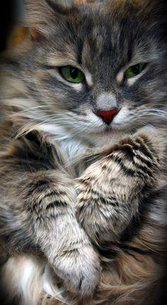 grey maine coon #catsbreedsmainecoon