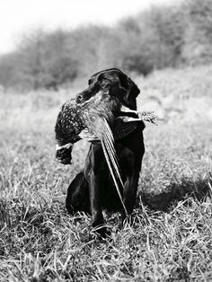 Gun dogs only dad retrieved his own pheasants, lol..