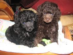 Two Adorable Grey and Brown Toy Poodle Dogs Toy Poodle Puppies, Poodle Mix, Cute Puppies, Toy Poodles, Dogs And Puppies, Chocolate Toy Poodle, Puppy Pictures, Cool Pictures, Poodle
