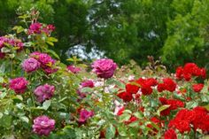 Feeding Roses | Stretcher.com - Natural feeding promotes wonderful roses