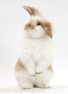 Young fluffy rabbit standing up.