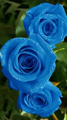 Roses - Rosa - Blue roses