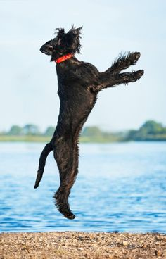 Get to Know the Giant Schnauzer: The Schnazzy Show Dog | Dogster