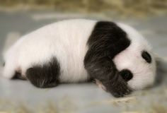 The panda's wonderful black and white colors are evident even at birth.