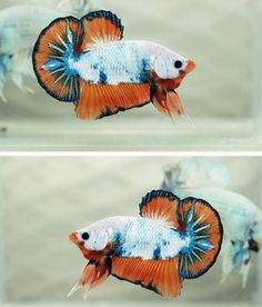 There's a whole world of fancy betta fish breeding out there where people selectively breed these fish to produce some incredible color combinations. This one is called a Dragon Fancy Orange Halfmoon Plakat.