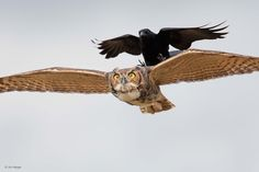 Owl (Bubo virginianus) chased by a crow (Corvus ossifragus) in Lake Kissimmee, Florida (USA).  ©Jim Neiger