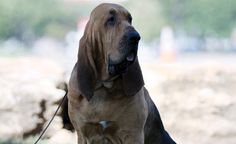 First Mantrailer (Nathan) Bloodhound to Win Best in Show - Purina Pro Club