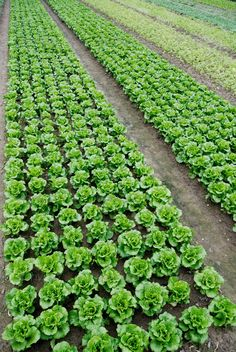 Buy Vegetable field by liufuyu on PhotoDune. Farmland, vegetable field is growing on a variety of vegetables, Vertical Vegetable Gardens, Vegetable Farming, Vegetable Garden For Beginners, Vegetable Garden Design, Home Grown Vegetables, Planting Vegetables, Growing Vegetables, Commercial Farming, Cabbage Plant