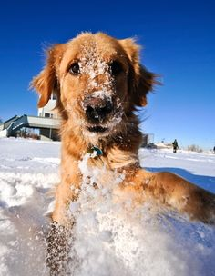 6 Things Worth Knowing About A Golden Retriever Free Dog Food, Free Dogs, Puppy Names, Dog Names, Dog Photos, Dog Pictures, Winter Pictures, Snow Dogs, Pet Safe