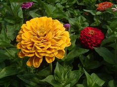 Colorful Zinnias, great for your garden, also a post on Zinnias