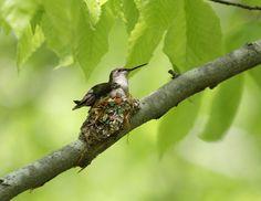 Ruby-throated Hummingbird (Archilochus colubris) female sitting on the nest, Rondeau Provincial Park, ONT, Canada.  (photo: Ric McArthur)