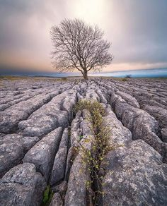 A stunning capture of the lone tree at Malham, Yorkshire