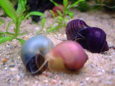 Clique aqui para ampliar a imagem Aquarium Snails, Aquarium Fish, Aquarium Ideas, Apple Snail, Animals And Pets, Cute Animals, Pet Snails, Snail Art, Interesting Animals