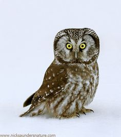 """Boreal Owl"" by Nick Saunders, via 500px."