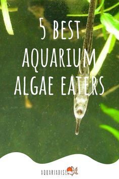 Although it's important to keep in mind that no fish is ever going to fully fix an algae problem and manual cleaning will always be necessary, it can still be a great idea to go for an algae eating species to help you out with this task. Click for a list of the best algae eaters!
