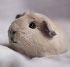 Guinea Pig--he's so cute!  I just want to squeeze him...  Maybe that's why he looks worried. :)