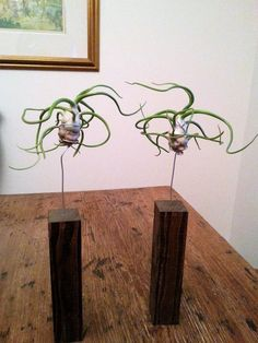 Air Plants with Trendy Stands $18 // CHRISTMAS by LookingSharpCactus
