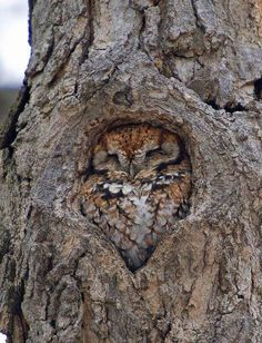 TALK ABOUT BEING ABLE TO HIDE..I THOUGHT IT WAS A KNOT HOLE. INSTEAD IT IS A OWL...Looks so comfy..So darn cute.