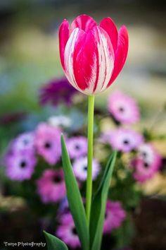 Tulipinas