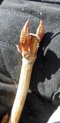 GardenAtoZ - Cut weak wood hard - Garden A to Z