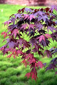 Coral Pink Japanese Maple - Beautiful Coral Pink Leaves In Spring Light Up The Garden 1 - Year Live Plant Deciduous Trees, Trees And Shrubs, Garden Trees, Garden Plants, Bloodgood Japanese Maple, Dwarf Japanese Maple Tree, Landscape Design, Garden Design, Pink Leaves