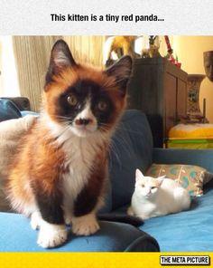 Red Panda Cat