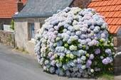 Hydrangea bush! Reminds me of the hydrangea & lilac bushes my Mom & Dad had at my childhood house in Maize Kansas-  along with Mulberry bush (ripe squishy blueberries were gr8 for play, left stains on everything kinda like paintballs do, only we used our arms to throw mulberries at the targets).