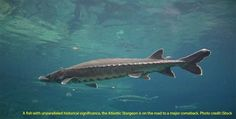 """There's an ancient fish in our Chesapeake Bay, and it's threatened with extinction on our watch. That's right: A local fish—the Atlantic sturgeon—survived Ice Ages, just to become endangered millions of years later by poor water quality, destruction of its habitat, and overfishing. National Oceanic and Atmospheric Administration (NOAA) Fisheries is proposing to designate """"critical …"""