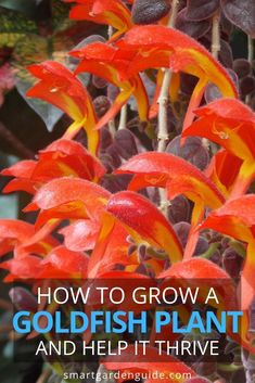 How To Grow The Beautiful And Unusual Goldfish Plant. With Blooms That Look Like A School Of Goldfish Jumping Through The Air, This Unique Plant Is A Real Eye Catcher. Appropriate For Growing Indoors Or Outside. Indoor Flowering Plants, Garden Plants, Garden Gnomes, Planting Succulents, Planting Flowers, Goldfish Plant, Smart Garden, Unusual Plants, Exotic Plants