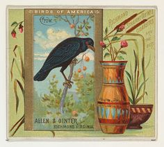 Crow, from the Birds of America series (N37) for Allen & Ginter Cigarettes