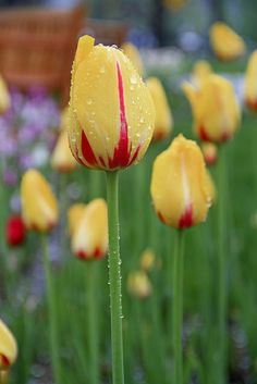 Tulips - After the Rain