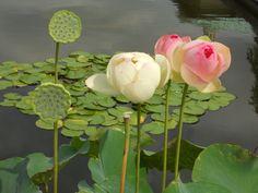 Nilüfer çiçeklerinin endamı